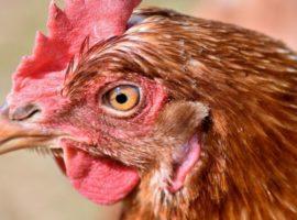 Dodatkowe koszty dla hodowców drobiu? – spór o powołanie nowej jednostki certyfikującej badania na obecność salmonelli